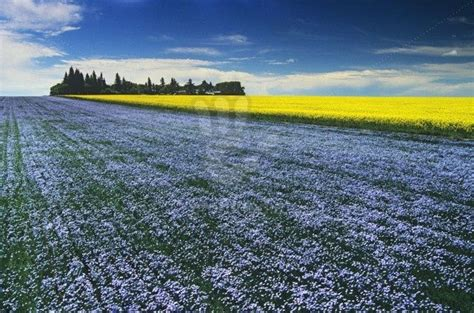 Flowering flax field with canola in the background, Tiger
