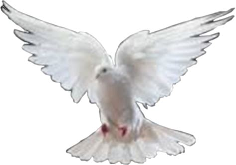 Dove Transparent PNG Pictures - Free Icons and PNG Backgrounds