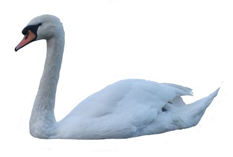 Swan PNG Transparent Images | PNG All